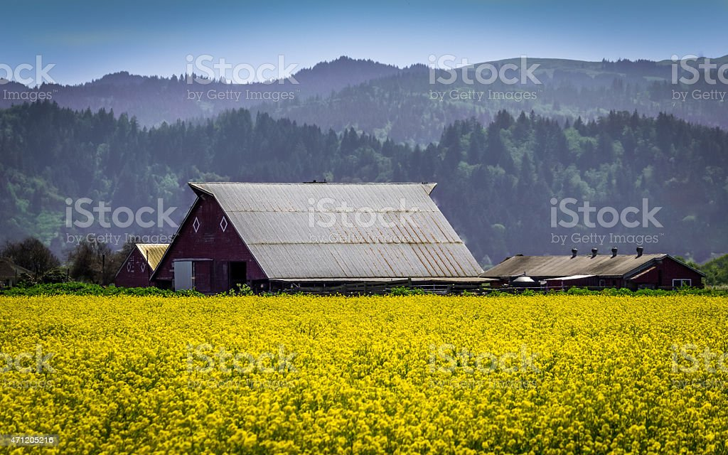 Farm Surrounded with Mustard Flowers stock photo