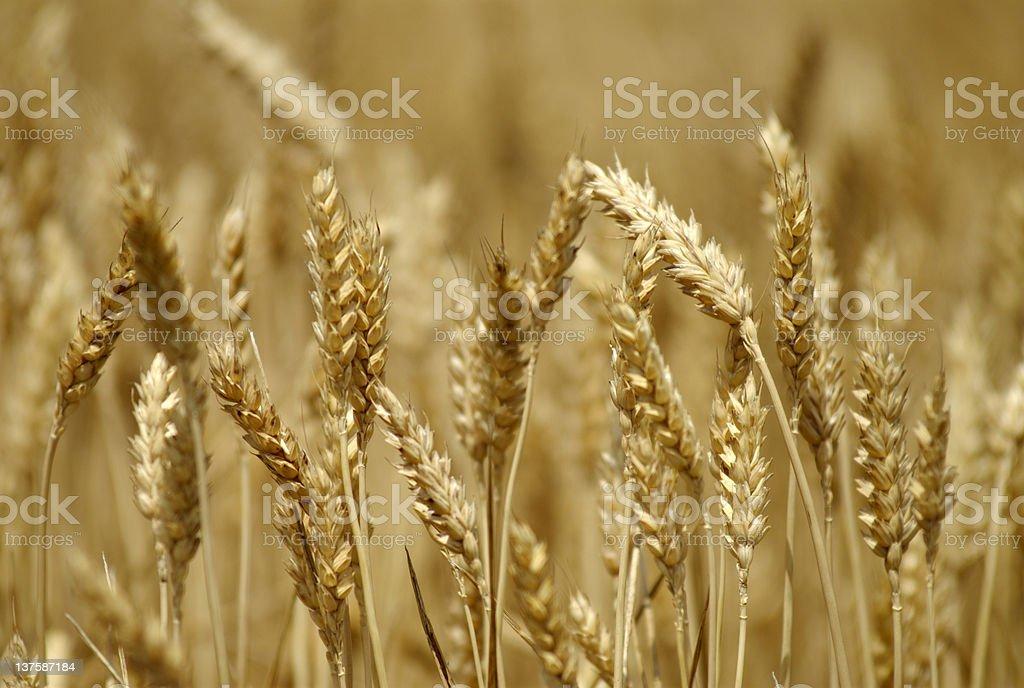 A GMO farm that grows brown wheat during crop season royalty-free stock photo