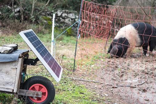 Farm Using Solar Panel for Power the Electric Fence of Free Range Pig on Organic Farm