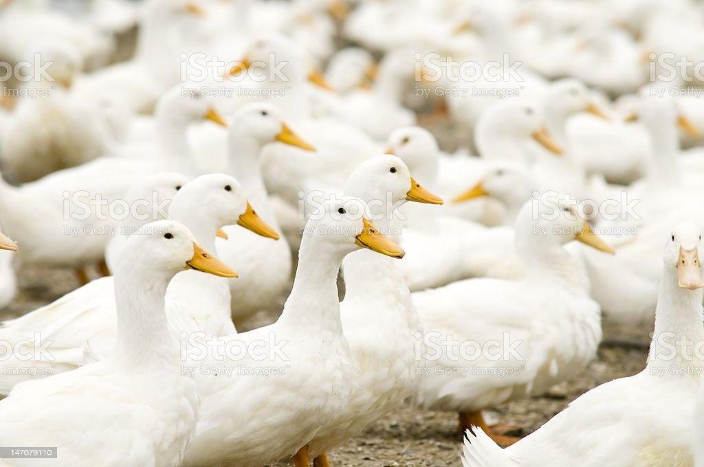 Farm White Ducks royalty-free stock photo