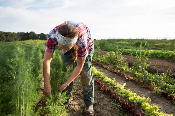 farm worker harvesting dill - organic farm stock photos and pictures
