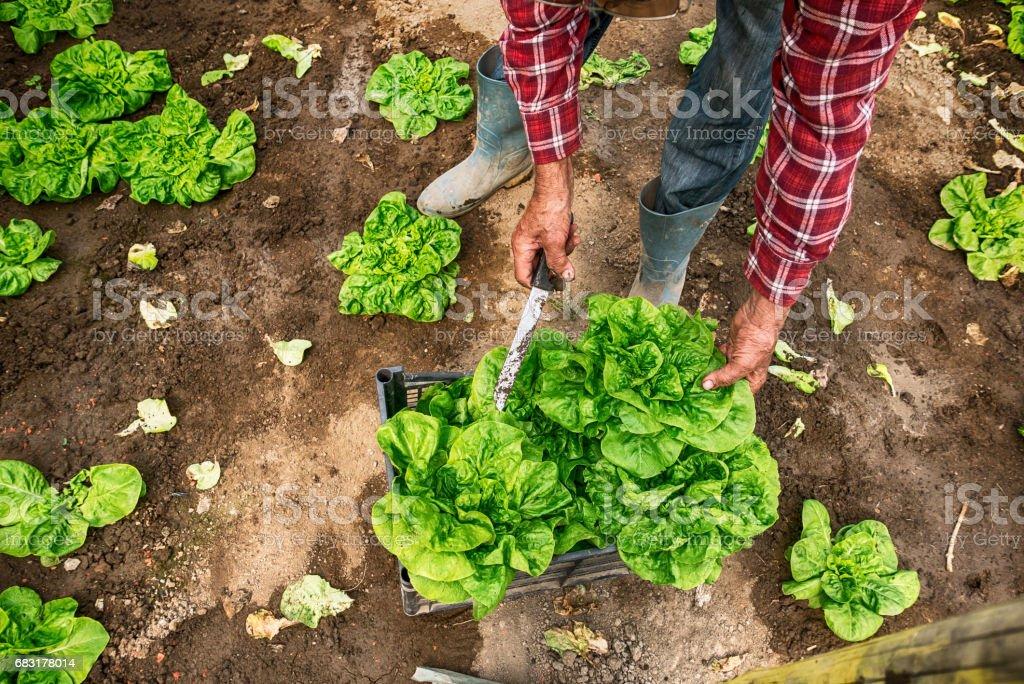 Farm worker harvesting lettuce foto de stock royalty-free