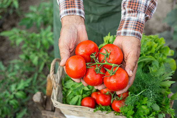 farm worker holding a bunch of fresh cherry tomatoes - tomato field stock photos and pictures