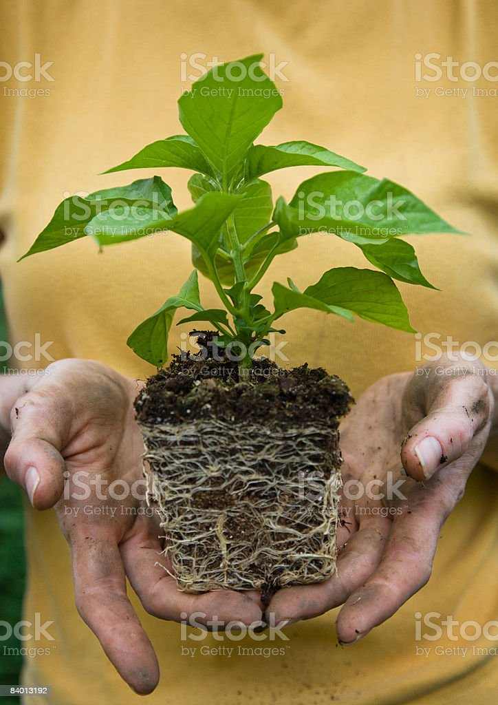 Farm worker holding a young, pepper seedling royalty-free stock photo