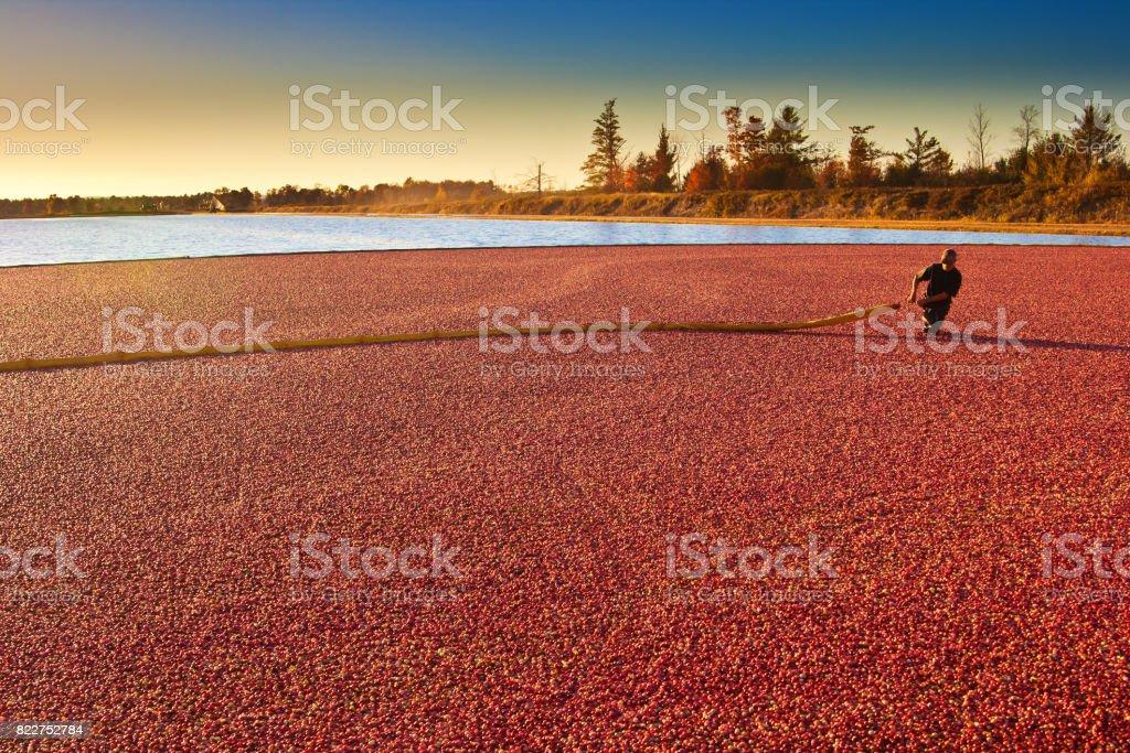 Landarbeiter in Cranberry Bog Ernte Feld Marsh in Wisconsin, USA – Foto