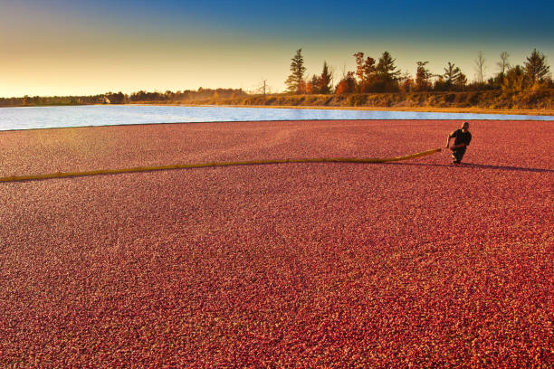 farm worker in cranberry bog harvesting the marsh field in wisconsin, usa - cranberry stock photos and pictures