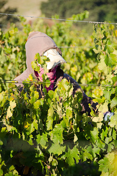 farm worker picking grapes Paso Robles, California, USA - October 14, 2011: Female farm worker picking wine grapes in vineyard. Bandana helps keep her from breathing in dust. Hooded sweatshirt keeps her warm in the morning and from sunburning in the afternoon. migratory workers stock pictures, royalty-free photos & images