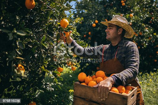 Farmer with wooden basket and pruning shears picking fresh oranges in orchard during harvest period
