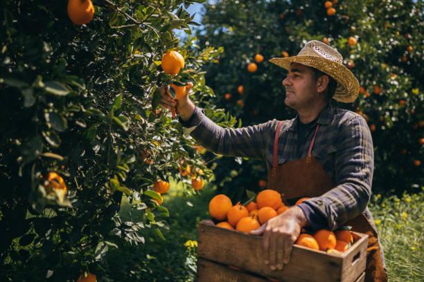 landarbeiter, die ernte reifer orangen aus orange äste - pflücken stock-fotos und bilder