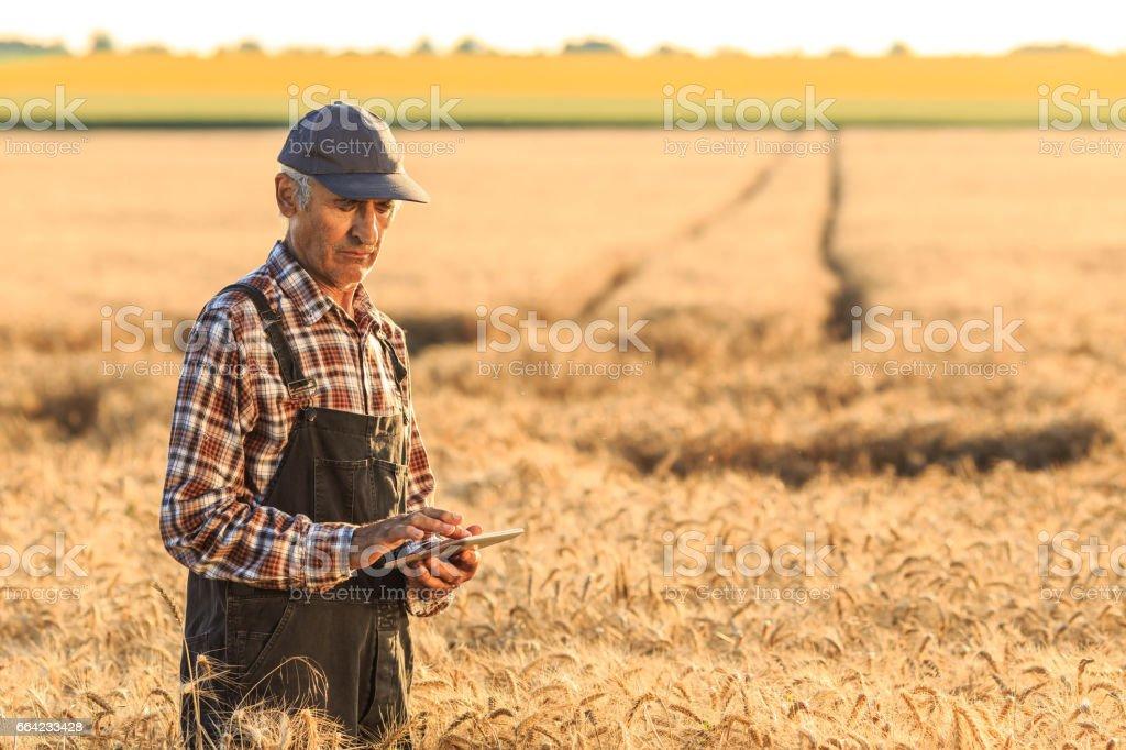 Farm worker using digital tablet in wheat field stock photo