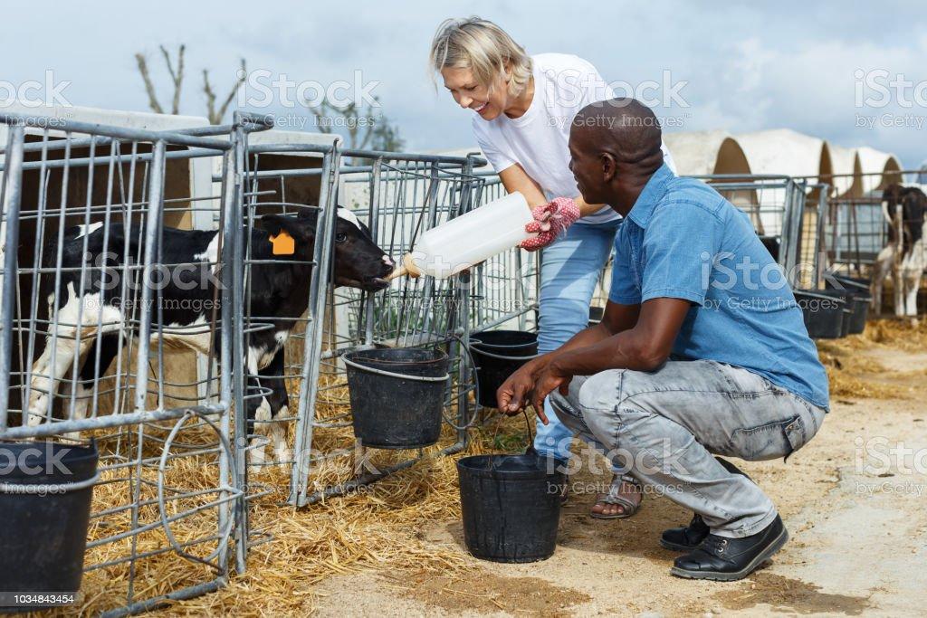 Farm workers feeding calves stock photo