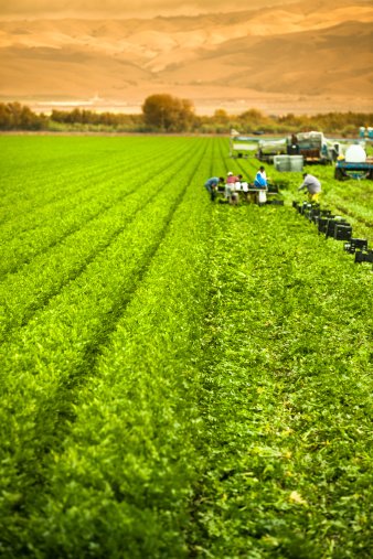 185274428 istock photo Farm workers harvesting a celery crop on fertile agriculture land 175418863