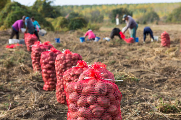 Farm Workers Harvesting Potatoes Potato Farming. Fresh organic potatoes in the field. Potato field with sacks of potato. farm worker stock pictures, royalty-free photos & images