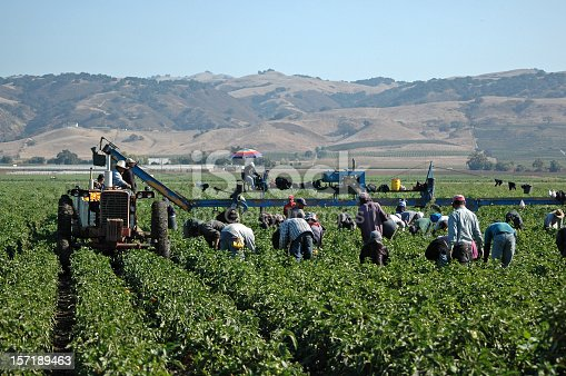 Farm workers harvesting yellow bell peppers near Gilroy, California. Crews like this may include illegal immigrant workers as well as members of the United Farm Workers Union founded by Cesar Chavez.