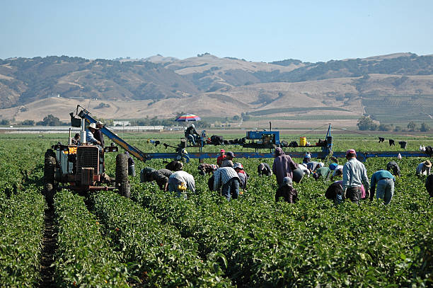 farm workers harvesting yellow peppers in California Farm workers harvesting yellow bell peppers near Gilroy, California. Crews like this may include illegal immigrant workers as well as members of the United Farm Workers Union founded by Cesar Chavez. migratory workers stock pictures, royalty-free photos & images