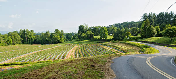 "Farm workers in garden with tomato plants ""Farmland with hundreds of tomato plants near Asheville, NC"" migratory workers stock pictures, royalty-free photos & images"