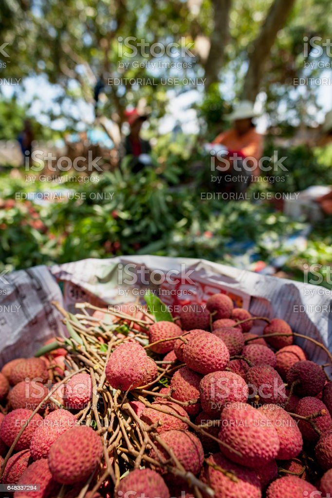 Farm workers sort out the good Lychee fruit from the bad after harvesting a large Thai Lychee orchard, preparing the fruit to go into baskets. stock photo