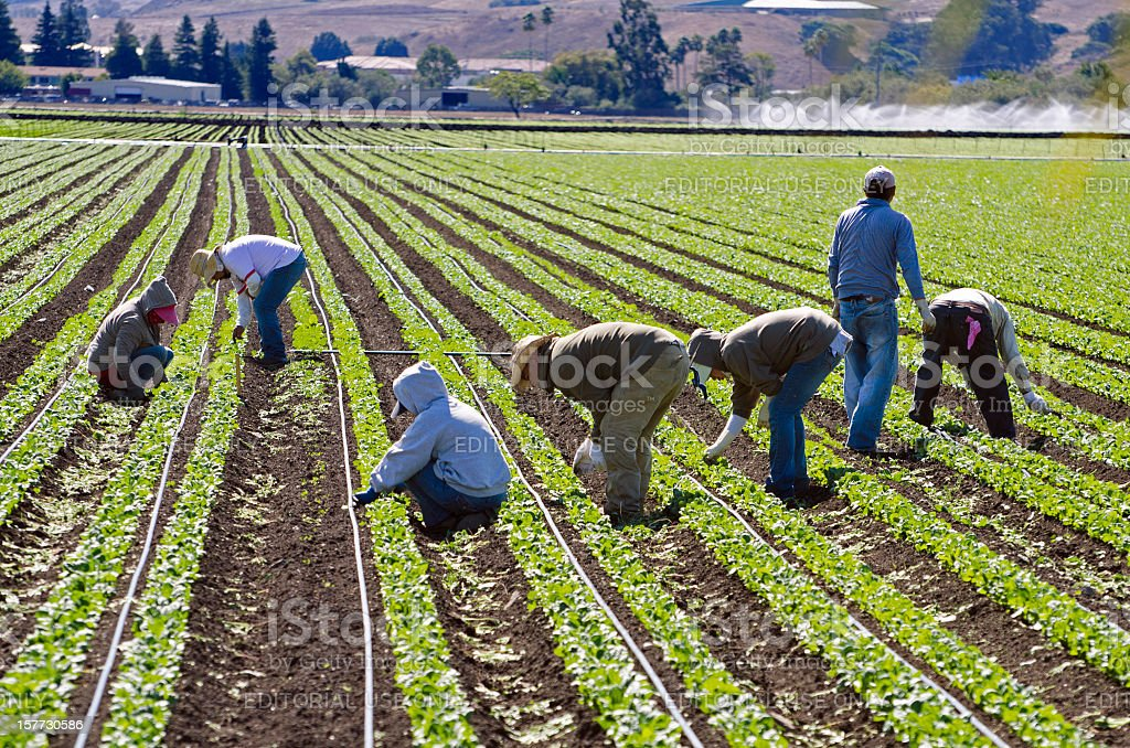 farm workers weeding spinach in California stock photo