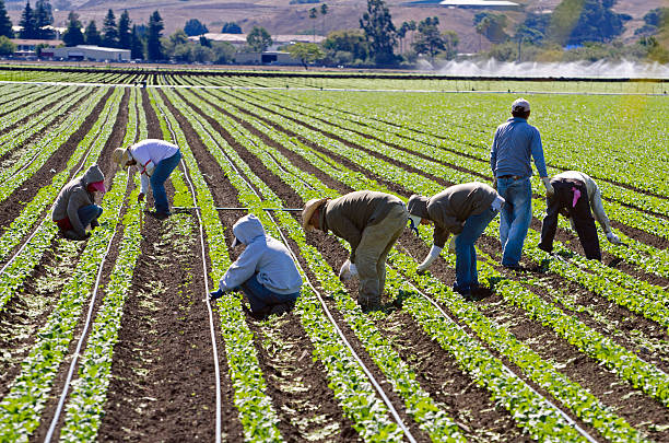 farm workers weeding spinach in California  migratory workers stock pictures, royalty-free photos & images