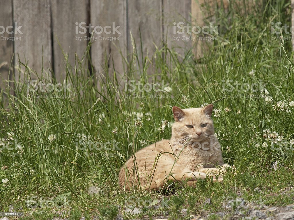 Farm Yard Cat royalty-free stock photo