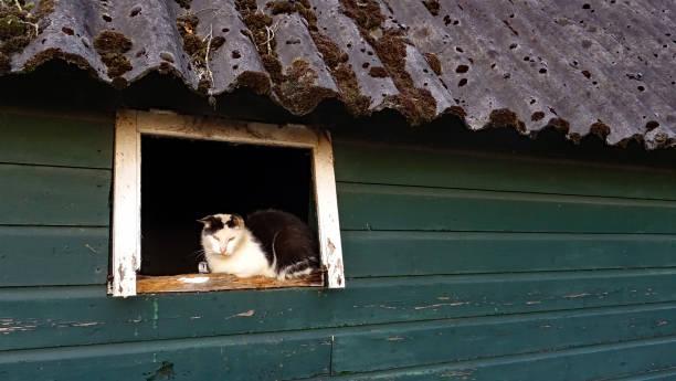 Farmcat in the window of an old barn stock photo