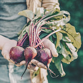 Closeup of Man Farmer Hand Holding Fresh Ripe Beetroots in Garden DayLight Healthy Life Autumn Spring Harvest Concept Horizontal Copy Space
