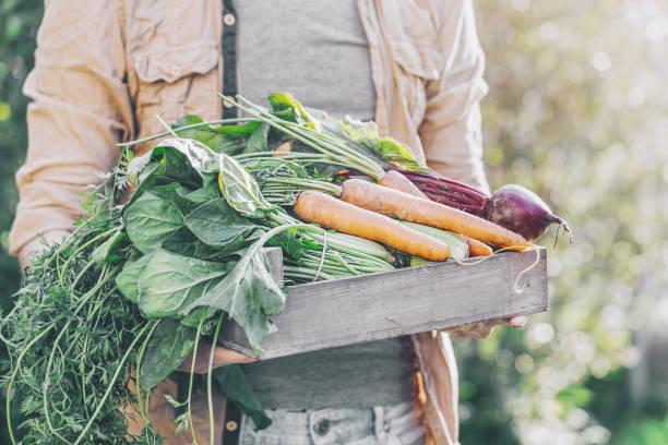 farmer adult man holding fresh tasty vegetables - bio food foto e immagini stock