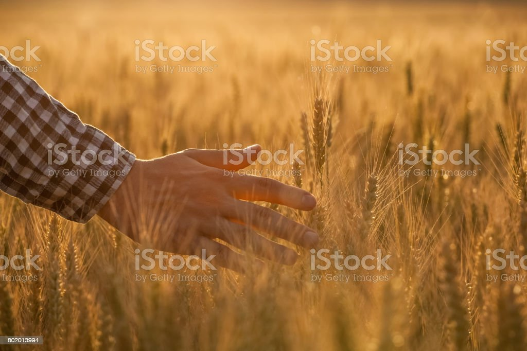 Farmer agronomist on the wheat field touches the golden spikelet. stock photo