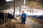 Farmer and cows at dairy farm. Cattleman holding tablet and observing domestic animals for milk production.