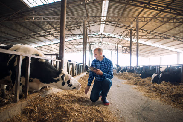Farmer and cows at dairy farm. Cattleman holding tablet and observing domestic animals for milk production. Farmer and cows at dairy farm. Cattleman holding tablet and observing domestic animals for milk production. herbivorous stock pictures, royalty-free photos & images