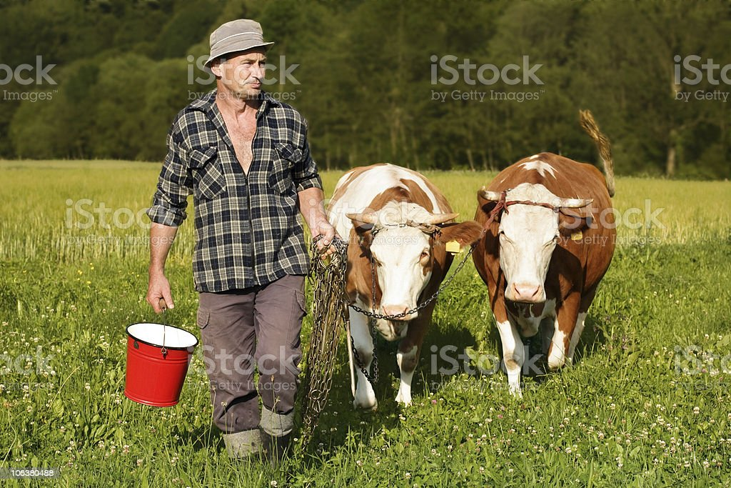 farmer and cows royalty-free stock photo
