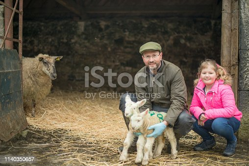 Farmer and his daughter during lambing season indoors in a barn, Galway, Ireland.
