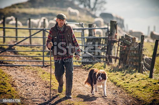 Farmer walking along a track with his dog at his side. Gate closed behind him with sheep out of focus in the background.