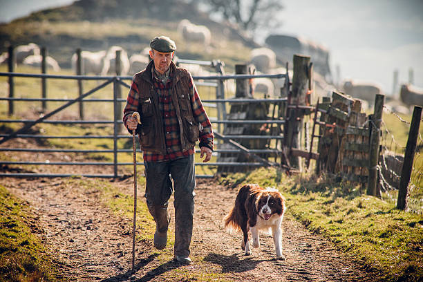 Farmer and his Dog Farmer walking along a track with his dog at his side. Gate closed behind him with sheep out of focus in the background. sheepdog stock pictures, royalty-free photos & images