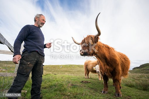 A farmer stands near a calf peeking around his mother on the moor. Highland cattle, or hairy coos, are a distinctive pedigree breed with long, thick flowing hair and sweeping horns that date from 1884 that thrive in difficult climates and conditions, Isle of Lewis, Outer Hebrides, Scotland, UK, Europe