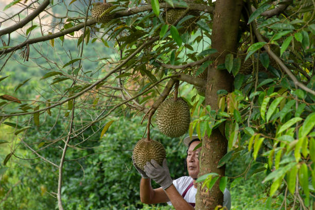 Farmer and musang king durian stock photo