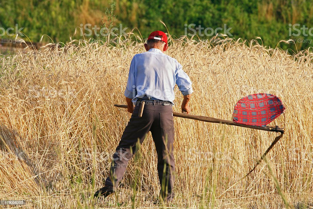 Farmer and wheat stock photo