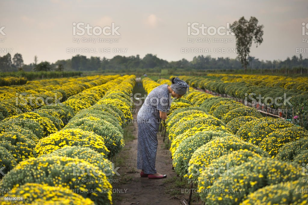 A farmer at Mekong Delta is caring for yellow daisies trees stock photo