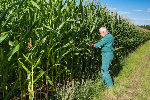 Farmer at the corn field stock photo