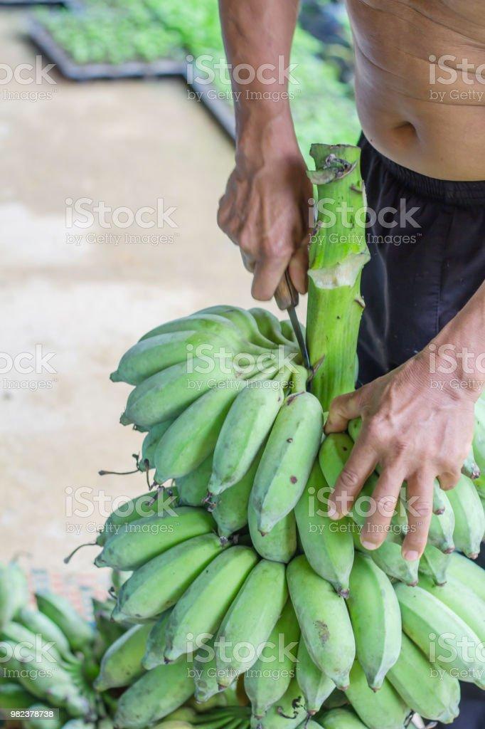 farmer bearing green banana on farm.Labor holding green banana for...