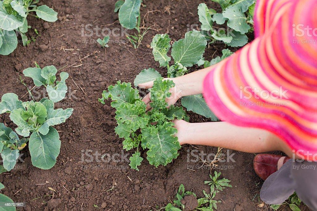 Farmer Fürsorge für Jungen Grünkohl und Kohl Pflanzen – Foto