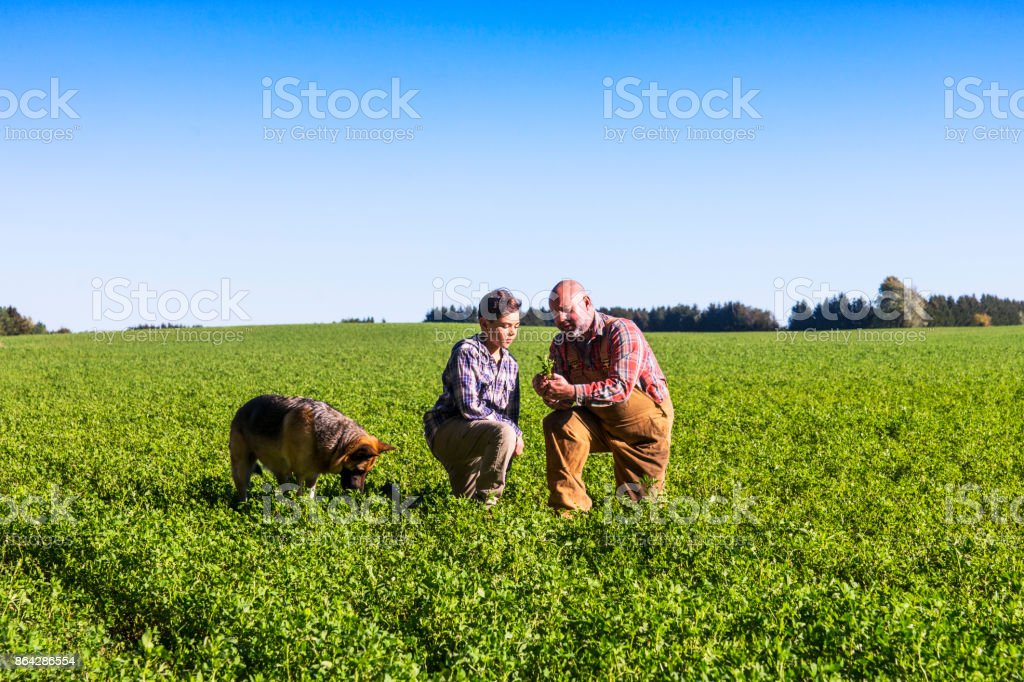 Farmer checking an alfalfa field with his son on a beautiful sunny afternoon. royalty-free stock photo