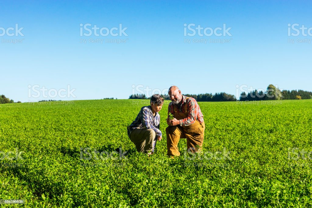 Farmer checking an alfalfa field with his son on a beautiful sunny afternoon. stock photo