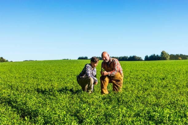 farmer checking an alfalfa field with his son on a beautiful sunny afternoon. - erba medica foto e immagini stock