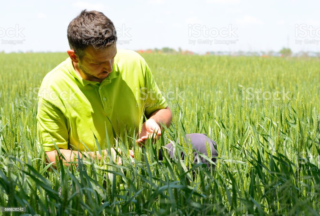 A farmer checking ear of wheat on a wheat field foto stock royalty-free