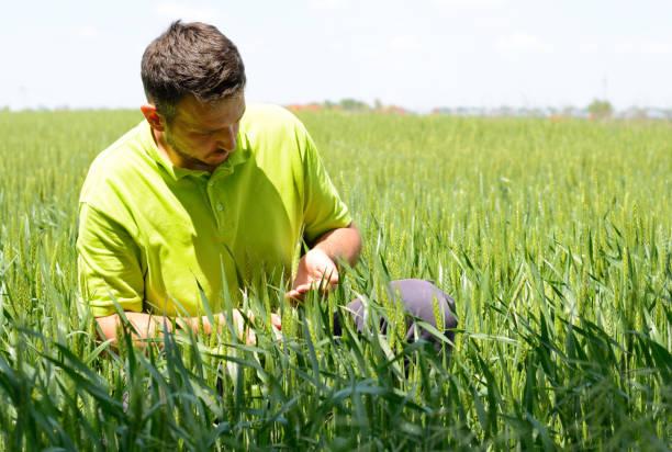 Ein Landwirt Überprüfung Ähre auf einem Weizenfeld – Foto