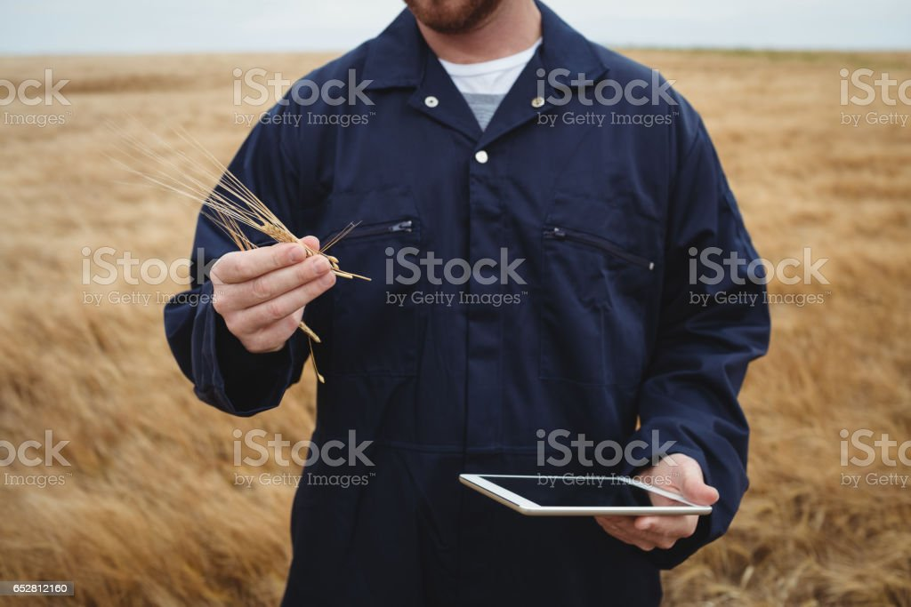 Farmer checking ears of wheat while using digital tablet in the field stock photo