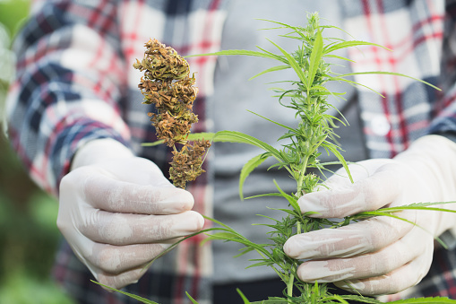 576744724 istock photo Farmer checking hemp plants in the field during a sunny summer day, agriculture and herbal medicine concept, Marijuana farmers. 1132516207