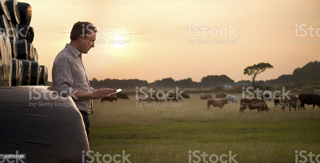 farmer checking his cattle stock photo