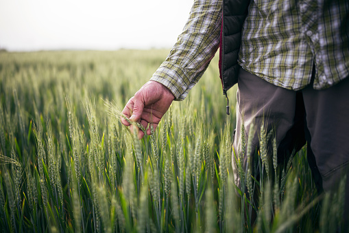 Unrecognizable farmer checking quality of his wheat crop plants in growth condition.